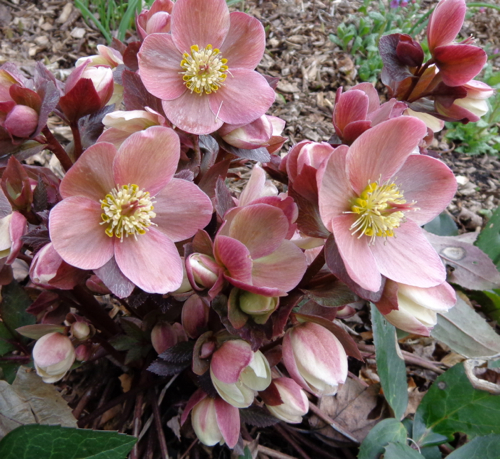 Hellebores in bloom in Deborah Cooke's garden