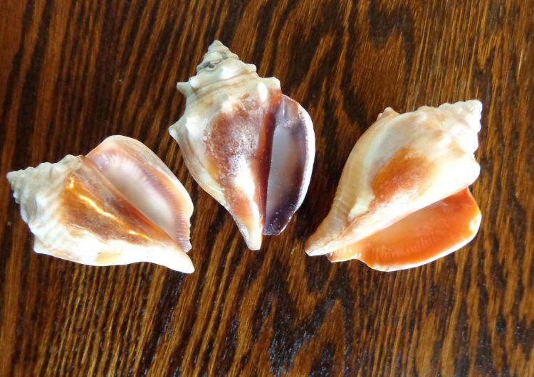 Deborah Cooke's shells from St. Pete's Beach