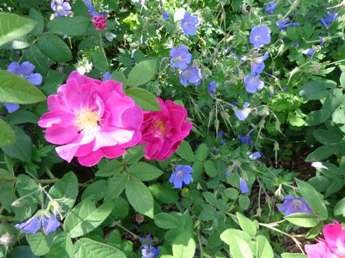 Apothecary rose in Deborah Cooke's garden