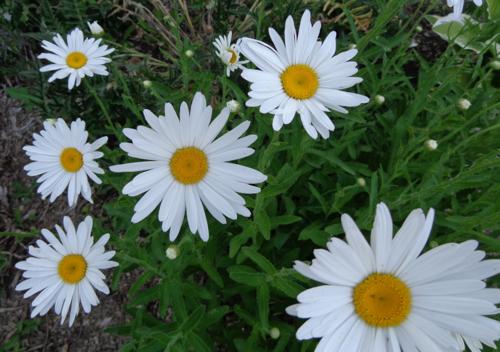 shasta daisy in Deborah Cooke's garden