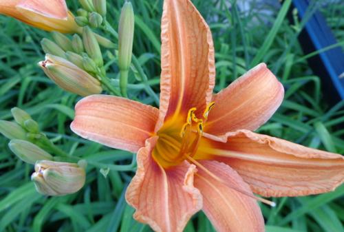 ditch lilies in Deborah Cooke's garden