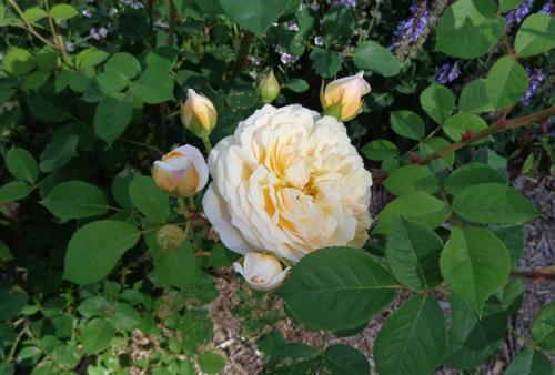 Graham Thomas Austen rose in Deborah Cooke's garden