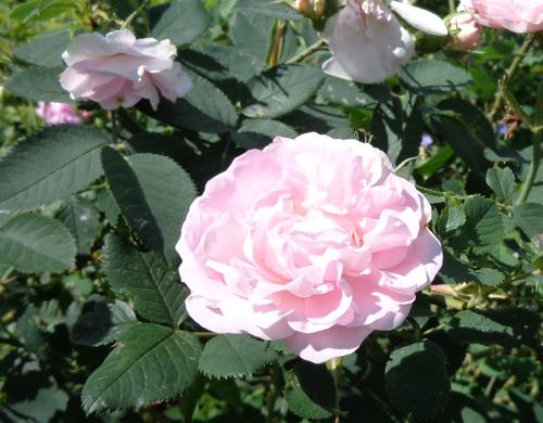 Great Maiden's Blush rose in Deborah Cooke's garden
