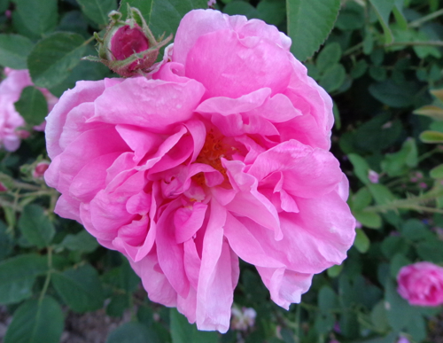Kaxanlik rose in Deborah Cooke's garden