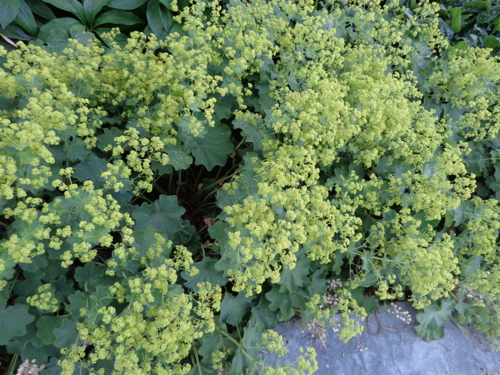 Lady's mantle in Deborah Cooke's garden
