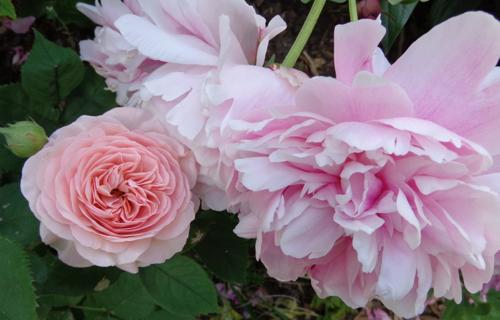 Leander Austen rose in Deborah Cooke's garden