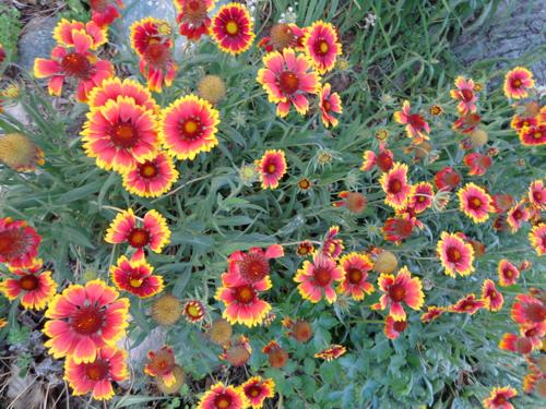 Gaillardia daisy in Deborah Cooke's garden