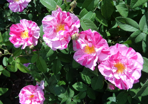 Rosamunde rose in Deborah Cooke's garden