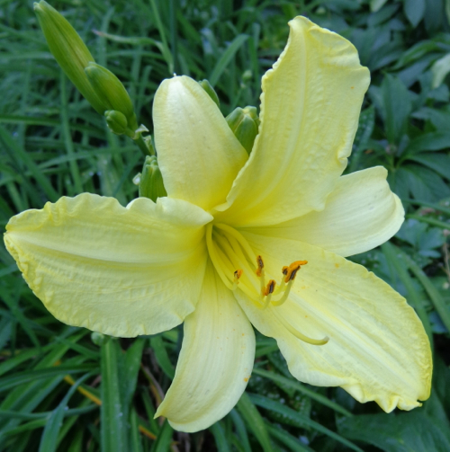 yellowdayliliy