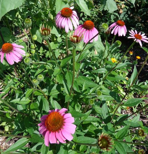 Ecinacea in Deborah Cooke's garden.