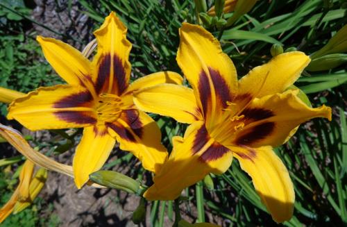 Orange dayliliy in Deborah Cooke's garden.