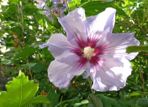 PInk rose of sharon in Deborah Cooke's garden.