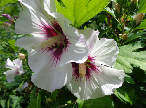 white rose of sharon in Deborah Cooke's garden.
