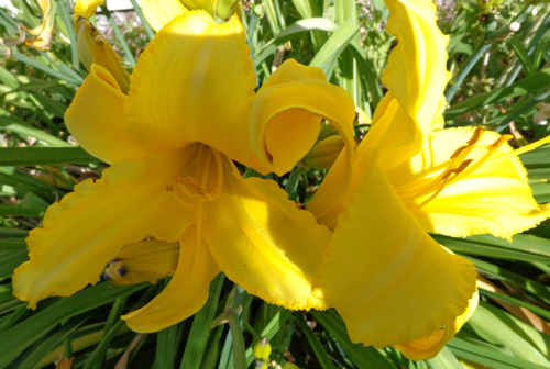Yellow dayliliy in Deborah Cooke's garden.