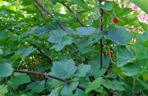 Red currant bush in Deborah Cooke's garden